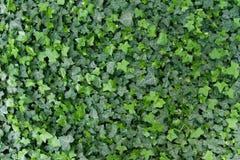 Fundo verde da hera Imagem de Stock Royalty Free