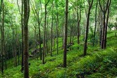 Fundo verde da natureza das árvores. Plantação das árvores da borracha do látex Fotografia de Stock