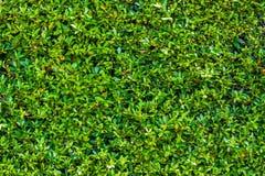 Fundo verde da parede da folha Foto de Stock Royalty Free