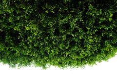 Fundo verde da planta da samambaia, close-up Imagens de Stock Royalty Free