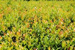 Fundo verde da textura da folha Imagens de Stock Royalty Free