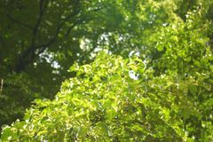 Fundo verde das árvores Fotografia de Stock