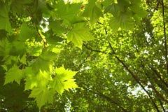 Fundo verde das árvores Foto de Stock Royalty Free