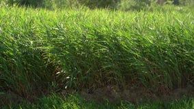 Fundo verde das precipitações dos juncos Galho do bastão que funde no vento Grama selvagem ao lado da água Topete da grama vídeos de arquivo