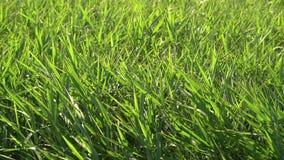 Fundo verde das precipitações dos juncos Galho do bastão que funde no vento Grama selvagem ao lado da água Topete da grama filme