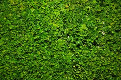Fundo verde de Bush Fotos de Stock