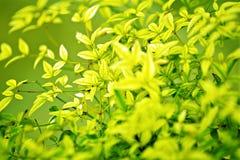Fundo verde de Leafes foto de stock