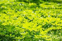 Fundo verde de uvas novas Imagens de Stock Royalty Free