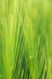 Fundo verde do cereal Fotografia de Stock Royalty Free
