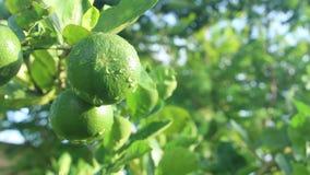 Fundo verde do limão video estoque
