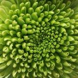 Fundo verde do macro da flor do crisântemo Fotos de Stock