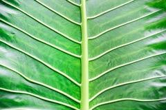 Fundo verde do macro da folha Imagem de Stock
