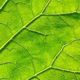 Fundo verde do macro da folha do vetor EPS 8 Imagens de Stock