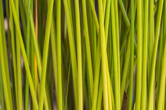 Fundo verde do papiro da folha Fotos de Stock