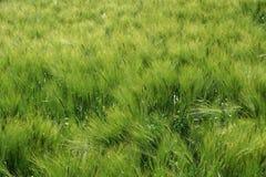 Fundo verde do trigo Fotografia de Stock Royalty Free