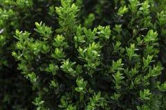 Fundo verde dos arbustos da textura da cerca imagem de stock