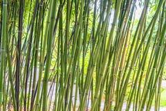 Fundo verde dos bambus imagens de stock
