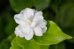 Fundo verde e branco da flor do jasmim Fotografia de Stock