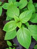 Fundo verde fresco da erva da manjericão, vista superior Planta da manjericão que cresce em um jardim Planta da manjericão - text Fotos de Stock Royalty Free