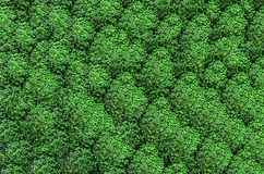 Fundo verde fresco dos brócolis Foto de Stock Royalty Free