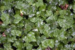 Fundo verde molhado da folha Imagem de Stock