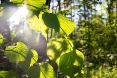 Fundo verde natural com foco seletivo Foto de Stock