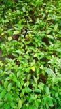 Fundo verde pequeno da folha Foto de Stock Royalty Free