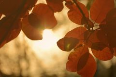 Fundo vermelho abstrato das folhas de outono Foto de Stock