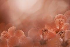 Fundo vermelho-branco floral de um hibiscus Floresce a composição Flores cor-de-rosa do chinês no fundo vermelho claro foto de stock royalty free