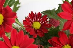 Fundo vermelho da flor da camomila Foto de Stock