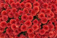 fundo vermelho da flor do crisântemo fotos de stock