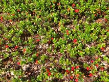 Fundo vermelho da textura da natureza do verde da tundra da airela Imagens de Stock
