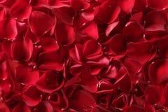 Fundo vermelho da textura das pétalas cor-de-rosa Fotos de Stock
