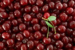 Fundo vermelho das cerejas Fotos de Stock