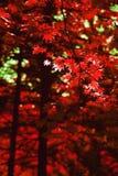 Fundo vermelho das folhas de bordo do outono fotos de stock
