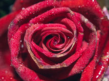 Fundo vermelho das rosas Imagens de Stock Royalty Free