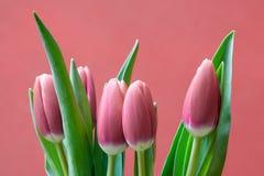 Fundo vermelho das tulipas cor-de-rosa do ramalhete com espaço para a mensagem de cumprimento Imagem de Stock Royalty Free