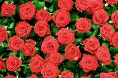 Fundo vermelho de Rosa Fotos de Stock