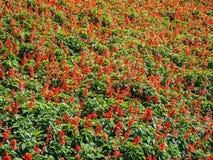 Fundo vermelho do campo da alfazema, flor bonita no jardim Fotografia de Stock