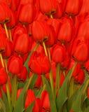 Fundo vermelho dos tulips Foto de Stock Royalty Free