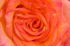 Fundo vermelho e amarelo das rosas Imagem de Stock