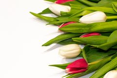 Fundo vermelho e branco floral da tulipa para o dia de Valentim, o dia da mulher internacional, o dia de mãe que comemora com esp imagem de stock
