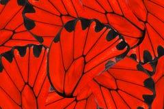 Fundo vermelho e preto da borboleta dourada de Birdwing imagens de stock