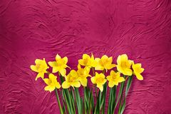 Fundo vermelho floral do feriado com flores dos narcisos amarelos Foto de Stock