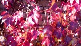 Fundo vermelho natural da planta das folhas de outono Imagem de Stock