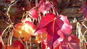 Fundo vermelho natural da planta das folhas de outono Imagens de Stock