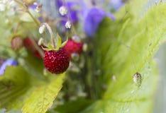 Fundo vermelho selvagem das morangos no verão Fotografia de Stock Royalty Free