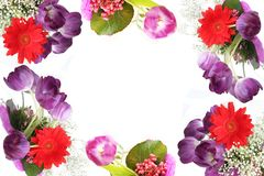 Fundo violeta dos tulips Fotografia de Stock Royalty Free