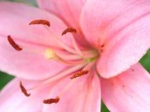 Fundos cor-de-rosa reais da flor Imagens de Stock