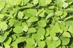 Fundos de plantas verdes Fotografia de Stock